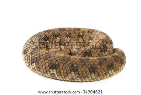 Horned Adder snake isolated against a white background in studio