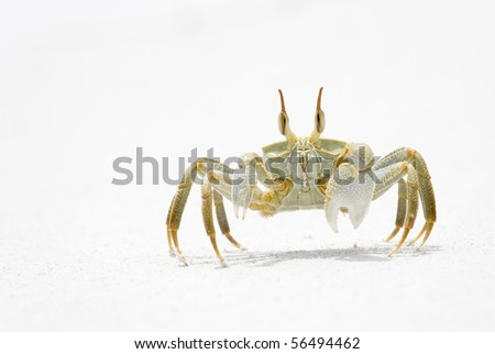 Horned Ghost Crab on snow white sand, La Digue, Republic of Seychelles - stock photo