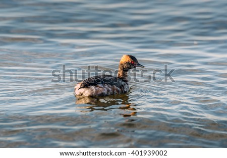 Horned Grebe swimming in the Chesapeake Bay in Maryland during Spring. - stock photo