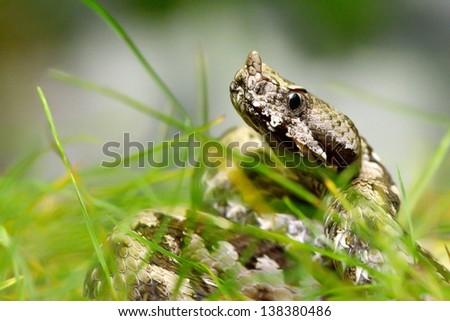 horned viper in natural habitat (vipera ammodytes montandoni) - stock photo