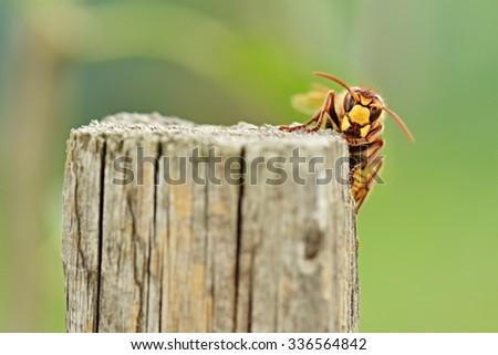 hornet - stock photo