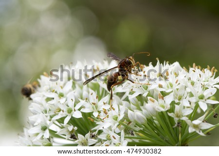 hornet bee on the chive flower