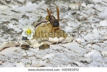Hornet eats honey. - stock photo