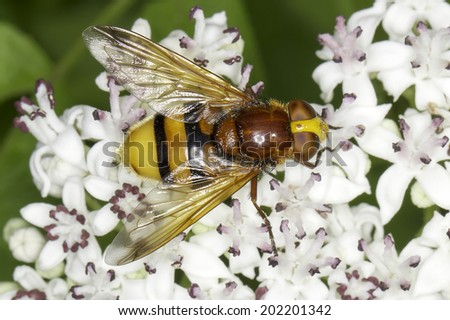 Hornet mimic hoverfly on a white flower / Volucella zonaria  - stock photo