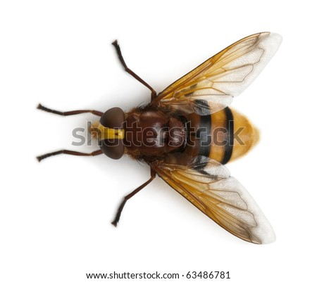Hornet mimic hoverfly, Volucella zonaria, in front of white background - stock photo