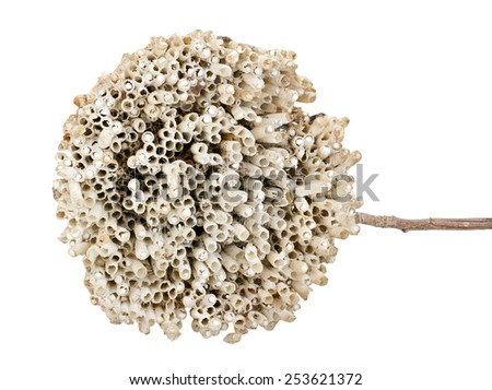 Hornet's nest with twig isolated on white background - stock photo