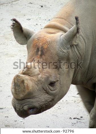 Hornless rhinoceros at the San Francisco Zoo closeup. - stock photo