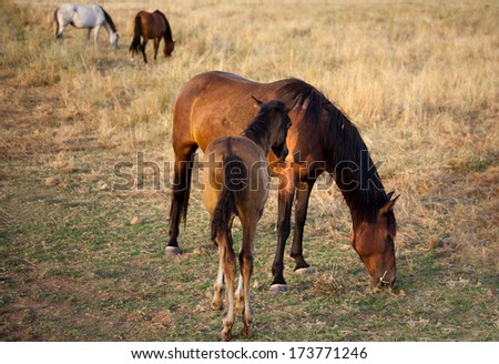 Horse and colt grazing in green fields of Olivenza countryside, Badajoz, Extremadura, Spain - stock photo