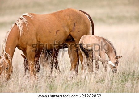 Horse and Colt in Pasture Saskatchewan Canada - stock photo