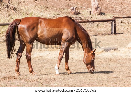 Horse Animal Chestnut Horse animal of chestnut breed healthy fit strength. - stock photo