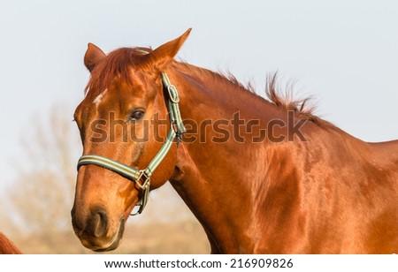 Horse Animal Portrait Closeup Horse chestnut animal closeup portrait groomed detail outdoors - stock photo