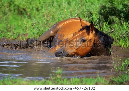 Horse bathes in the mud pond