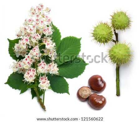Horse-chestnut (Aesculus hippocastanum, Conker tree) flowers, leaf and seeds on a white background - stock photo