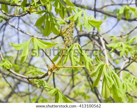 Horse-chestnut, aesculus hippocastanum, flower bud and young leaves on branch with bokeh background macro, selective focus, shallow DOF - stock photo