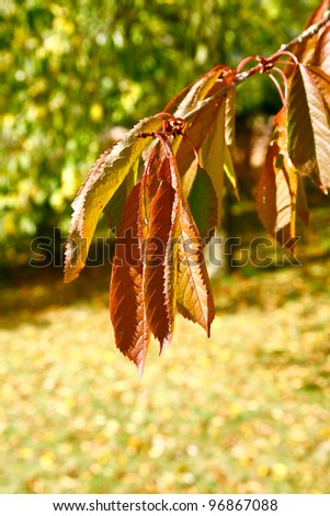 Horse chestnut  leaves turning brown in the autumn while still on the tree with a blue sky background and other green foliage images taken at kedelstone hall derbyshire uk - stock photo