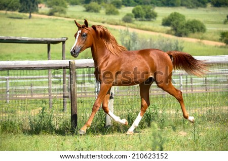Horse doing a extended trot - stock photo