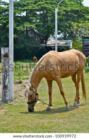 horse eat grass in field of northern thailand - stock photo