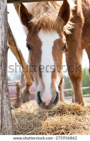 horse eat hay  - stock photo