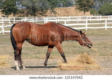 horse eating hay ranch scene - stock photo
