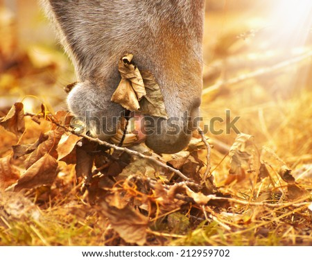 horse eats autumn leaves , toning - stock photo