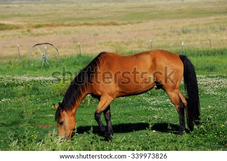 Horse eats in pasture with fence and old wagon wheel.  Pasture is in Paradise Valley, Montana. - stock photo