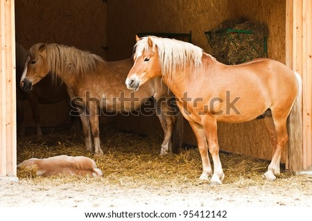 Horse family - Haflinger mother, father & colt - stock photo