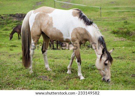 Horse feeding on grass in a paddock. - stock photo