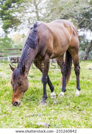 Horse feeding on grass in a paddock.Horse feeding on grass in a paddock. - stock photo