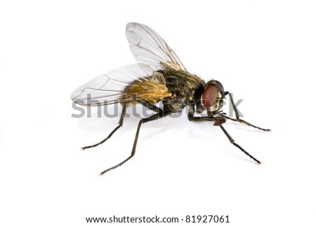 horse fly in extreme close up on white background