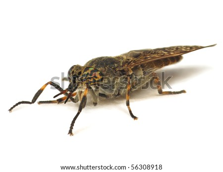 Horse fly isolated on white - stock photo