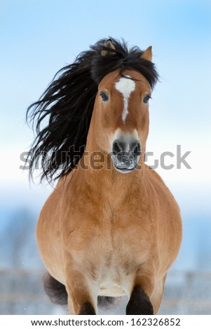 Horse gallops in winter, front view. - stock photo
