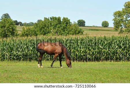 Horse grazing in a field in the Amish Country near Lancaster, PA