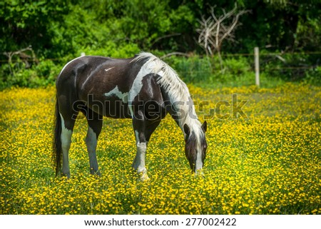 Horse grazing in a field of buttercups during Spring in Maryland - stock photo