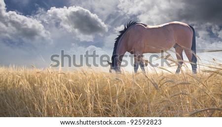 Horse grazing in field - stock photo