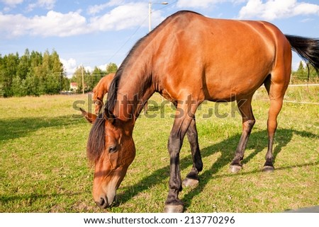 Horse grazing in the pasture at a horse farm - stock photo