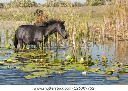 Horse grazing waterlilies leaves in water - stock photo