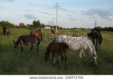 Horse herd pastures in Mozhaysk near Moscow, Russia. - stock photo