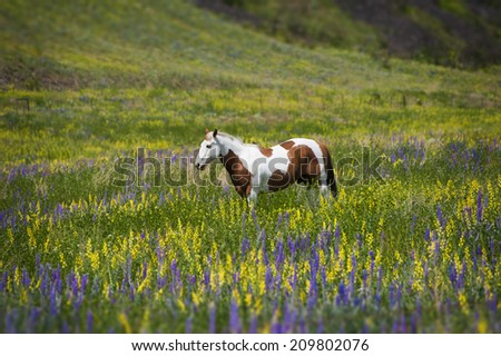 Horse in Field of Wildflowers. In the palouse area of eastern Washington a horse grazes in a field of lupine and yellow asters during a lovely springtime afternoon. - stock photo