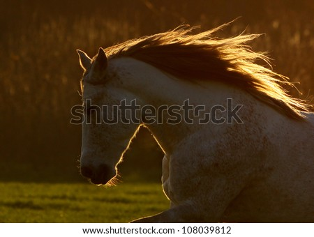 horse in sunset. small DOF, on the mane - stock photo