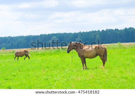 Horse in the field, BELARUS