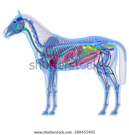 Horse Internal Organs Anatomy Stock Illustration 288455405 ...