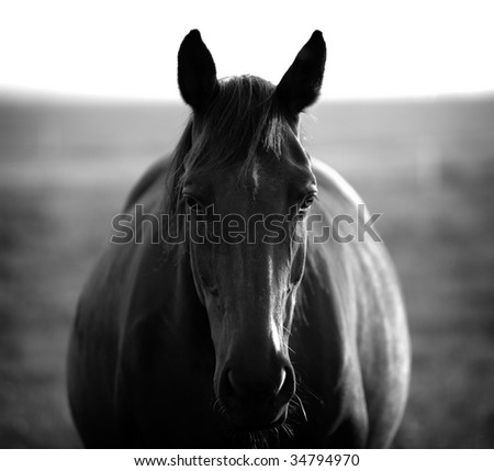 Horse looking towards the camera in black and white
