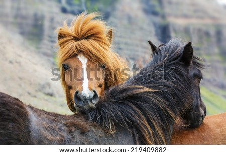 horse love, on the meadow, Iceland - stock photo