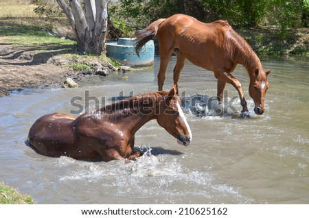 Horse Playing in water while another horse rolls in the water - stock photo