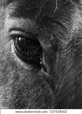 Horse Portrait: Black and White image of dark brown horse staring intently at camera. - stock photo