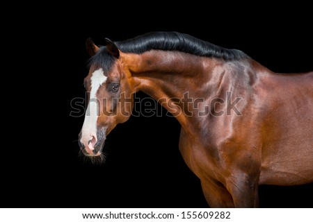 Horse portrait isolated on black, Holstein bay horse. - stock photo