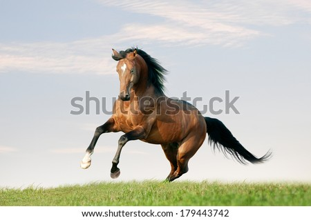 horse runs free in the field - stock photo