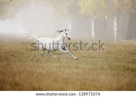 Horse runs in the fog - stock photo