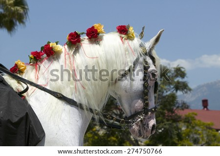 Horse's mane with flowers during opening day parade down State Street, Santa Barbara, CA, Old Spanish Days Fiesta, August 3-7, 2005 - stock photo