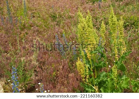 Horse sorrel  (Rumex confertus) on herbage  background - stock photo